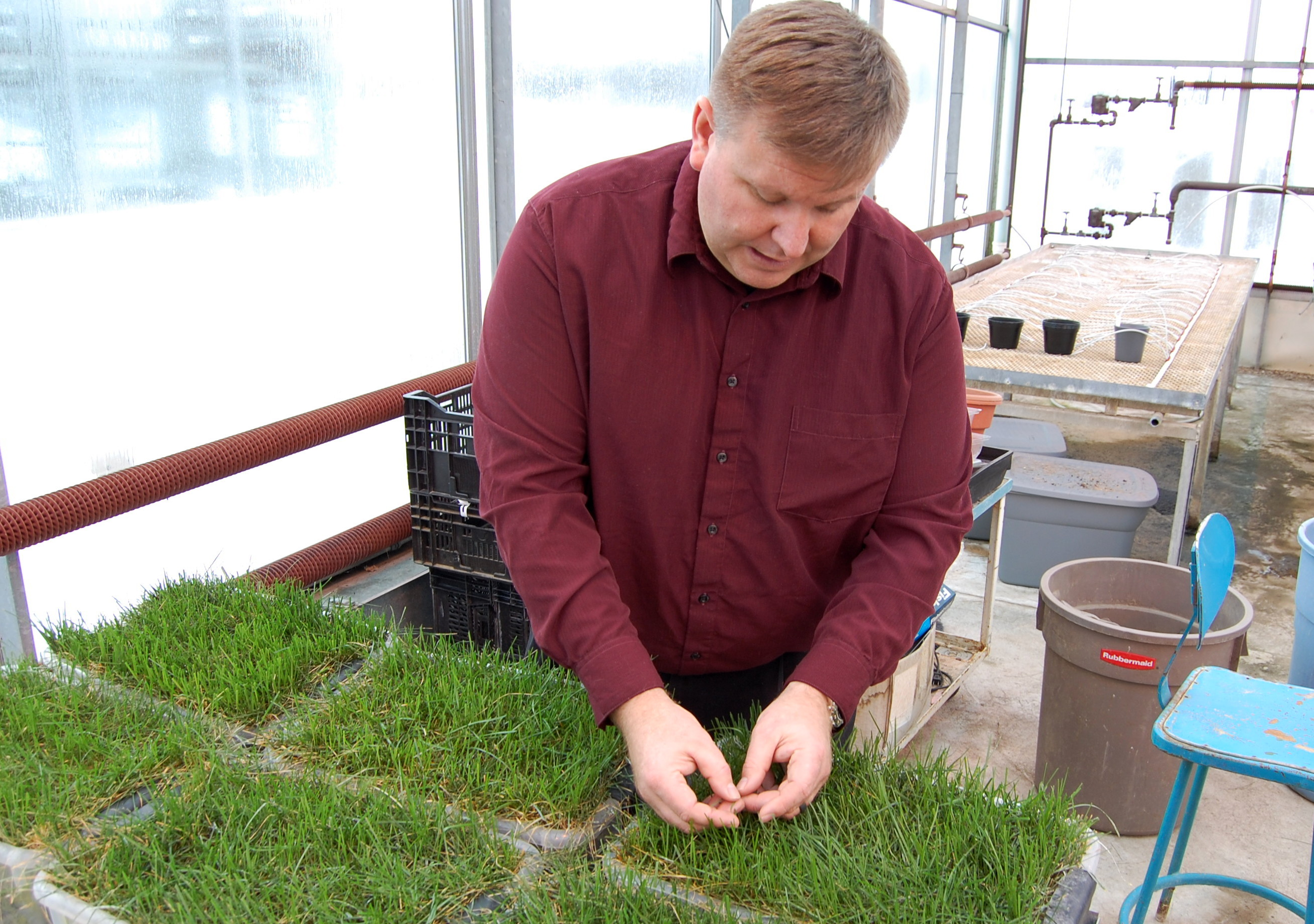 Eric Lyons checks on a blend of grasses he planted for the Blue Jays project inside a University of Guelph greenhouse (Greg Mercer)